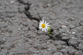 Daisy-flower-growing-in-crack-in-rock